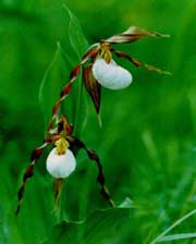 Mountain Lady Slipper photograph